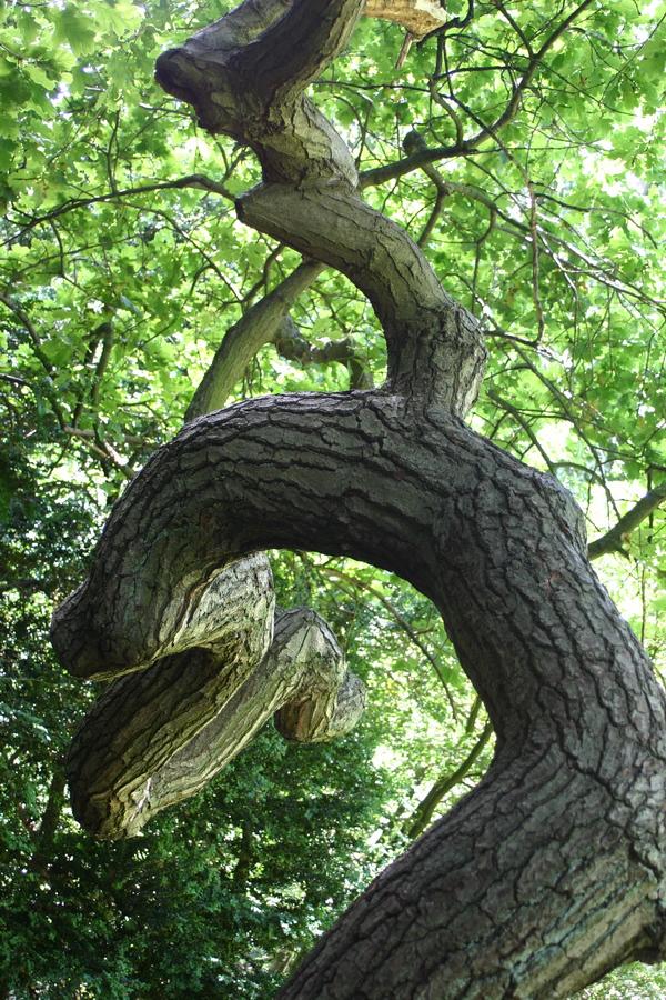 Quercus robur f. pendula