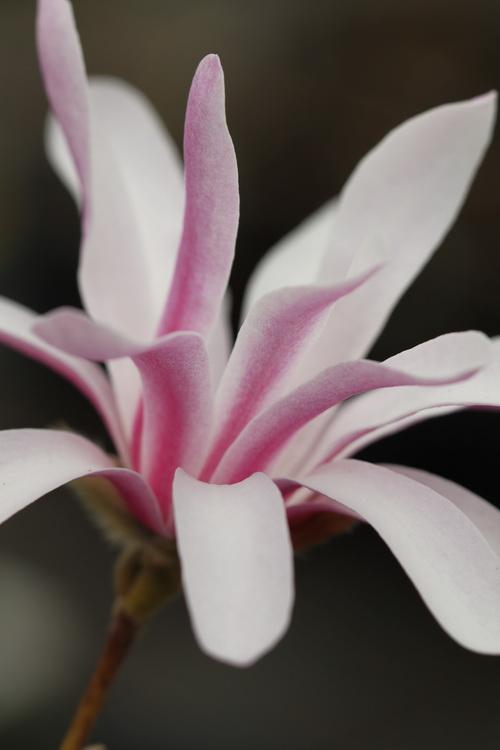 Magnolia-stellata-'Rosea'-Linders-Plantskola-2_resize
