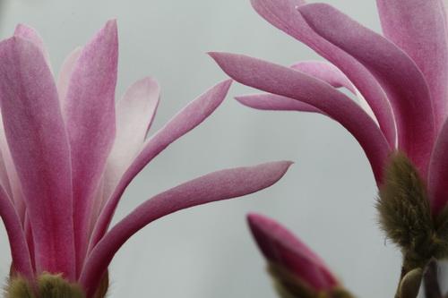 Magnolia-stellata-'Rosea'-Linders-Plantskola-5_resize