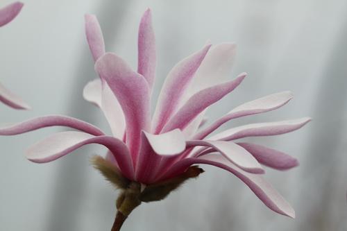 Magnolia-stellata-'Rosea'-Linders-Plantskola-6_resize