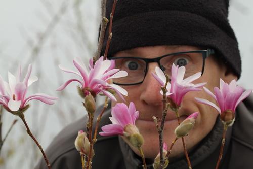 Magnolia-stellata-'Rosea'-Linders-Plantskola-7_resize