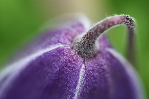Clematis-alpina-'Cyanea'-Linders-Plantskola-3