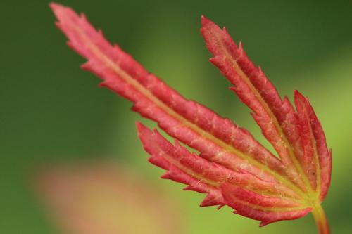 Acer-palmatum-Linders-Plantskola-6_resize
