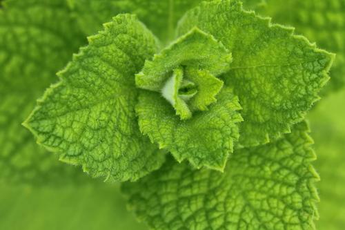 Mentha-suaveolens-'Apple-Mint'-Linders-Plantskola-1_resize