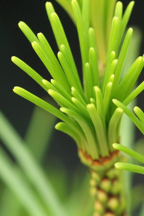 Sciadopitys-verticillata-Linders-Plantskola-3_resize