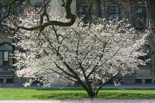 Prunus nipponica