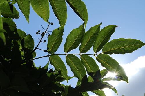 1-Phellodendron-Linders-Plantskola-Li_68189_resize