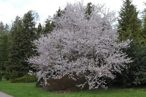 1-Prunus subhirtella-Linders-Plantskola-Li_51500_resize
