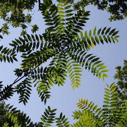 1-Toona-sinensis-Linders-Plantskola-Li_67226-cut_resize