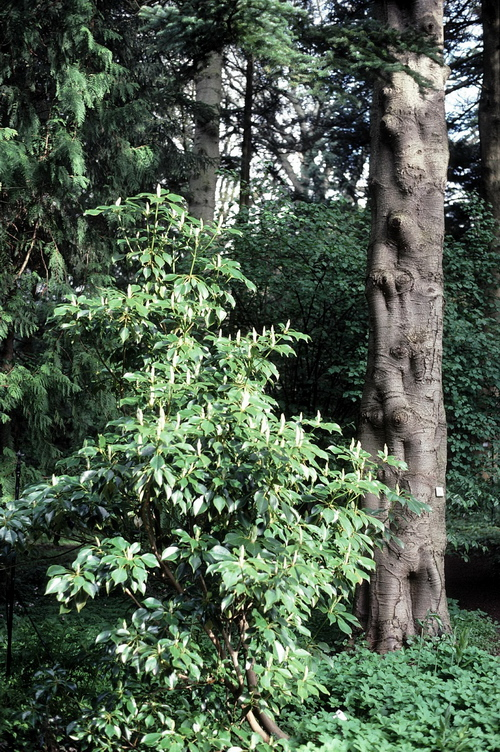 10-Linders-Plantskola-trochodendron aralioides 19-4 19990514_resize