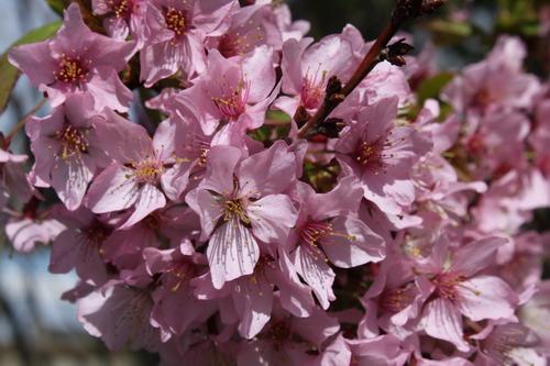 10-Prunus kurilensis 'Ruby'-Linders-Plantskola-Li_51455_resize