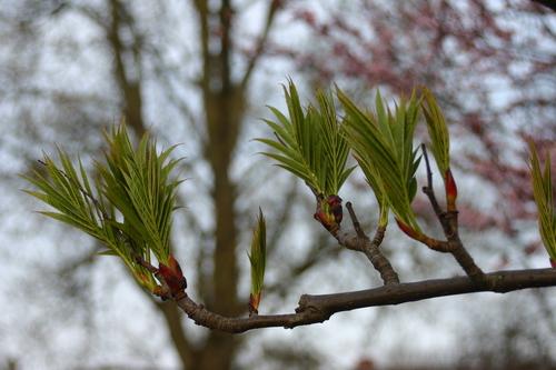 10-Sorbus-ullungii-Linders-Plantskola-37900_resize