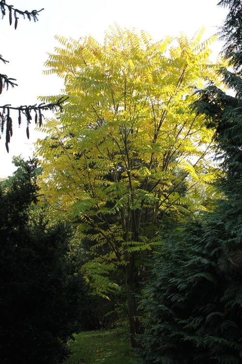 10-Toona-sinensis-Linders-Plantskola-Li_60456_resize