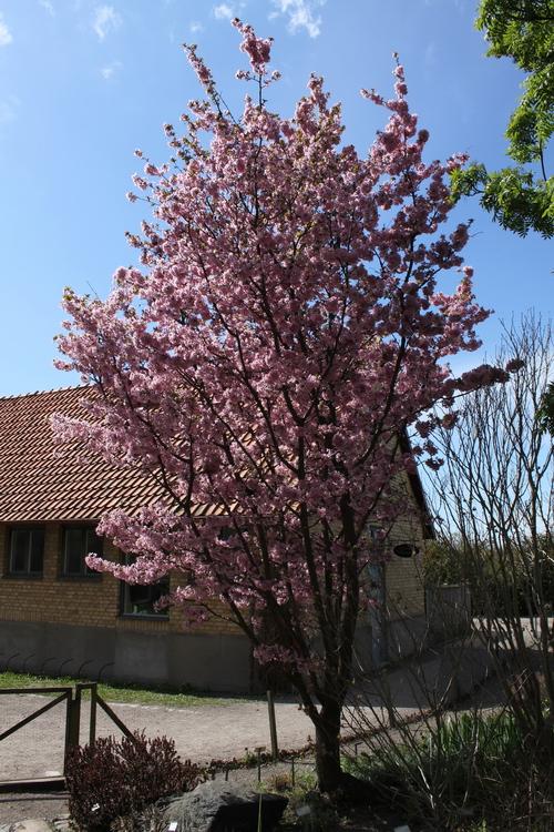 11-Prunus kurilensis 'Ruby'-Linders-Plantskola-Li_51457_resize