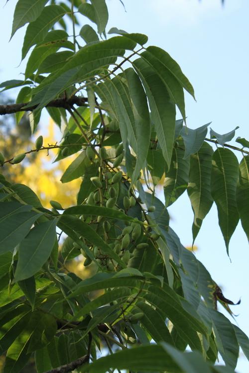 11-Toona-sinensis-Linders-Plantskola-Li_60466_resize