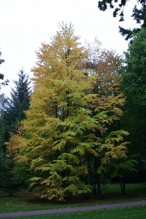 12-Cercidiphyllum-Linders-Plantskola-7005_resize