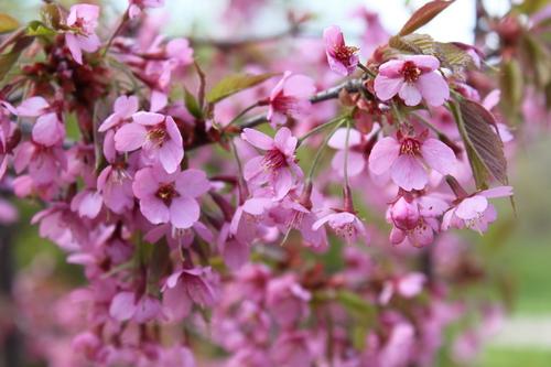 12-Prunus 'Kursar'-Linders-Plantskola-Li_51494_resize