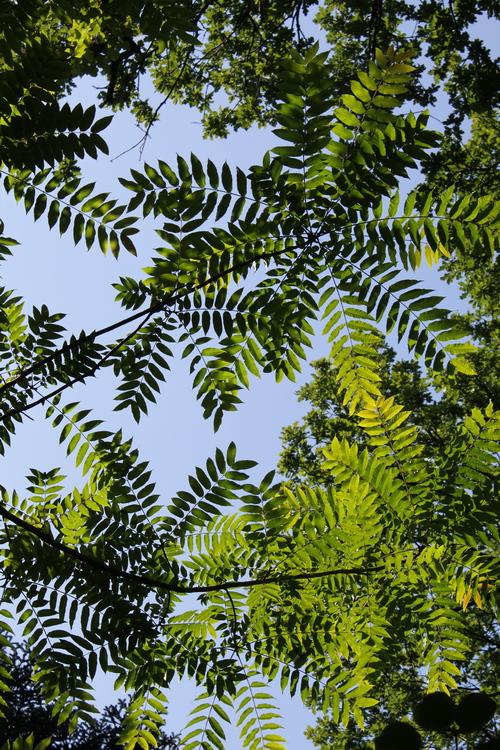 12-Toona-sinensis-Linders-Plantskola-Li_67228_resize