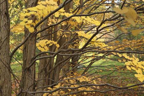 13-Cercidiphyllum-Linders-Plantskola-Li_60570_resize