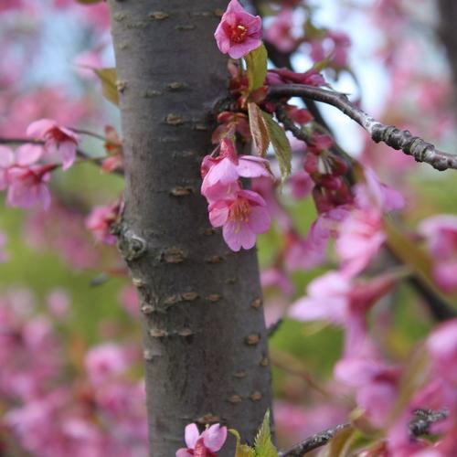 13-Prunus 'Kursar'-Linders-Plantskola-Li_51495-cut_resize