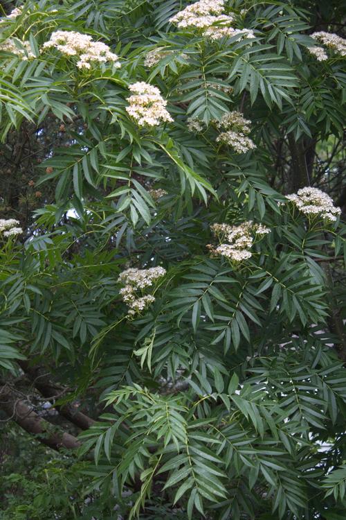 13-Sorbus-ullungii-Linders-Plantskola-Li_66084_resize
