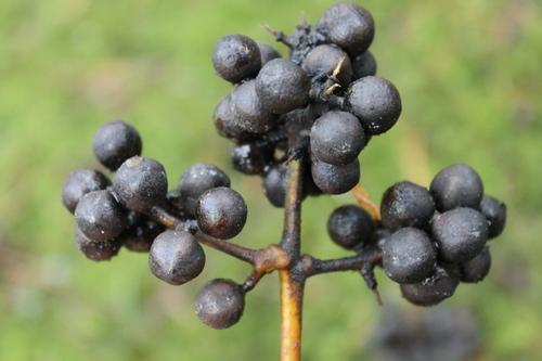 14-Phellodendron-Linders-Plantskola-IMG_9930_resize