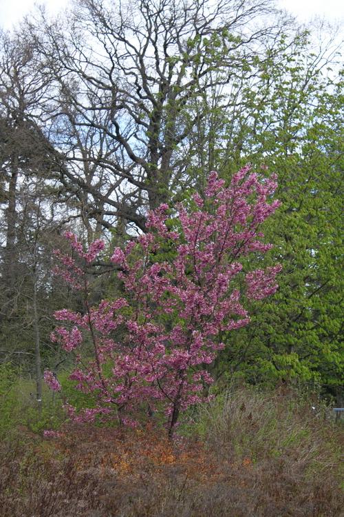 14-Prunus 'Kursar'-Linders-Plantskola-Li_51492_resize