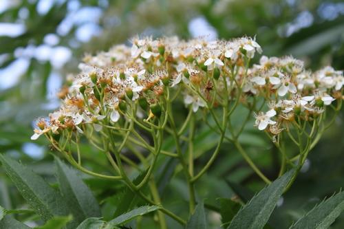 14-Sorbus-ullungii-Linders-Plantskola-Li_66086_resize