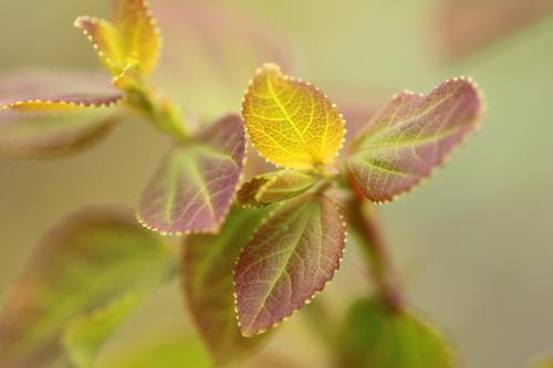 2-Cercidiphyllum-Linders-Plantskola-Li_61492_resize