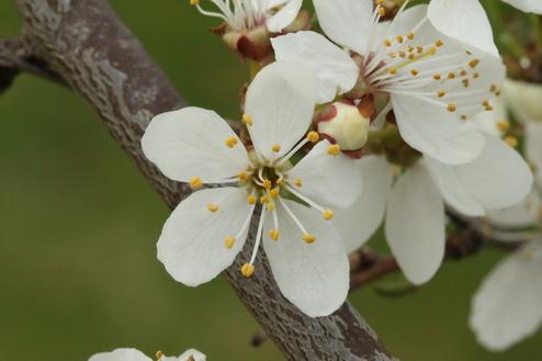 2-Prunus cerasifera-Linders-Plantskola-Li_61432_resize
