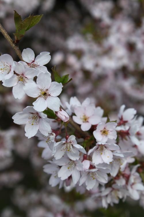 2-Prunus subhirtella-Linders-Plantskola-Li_51502_resize