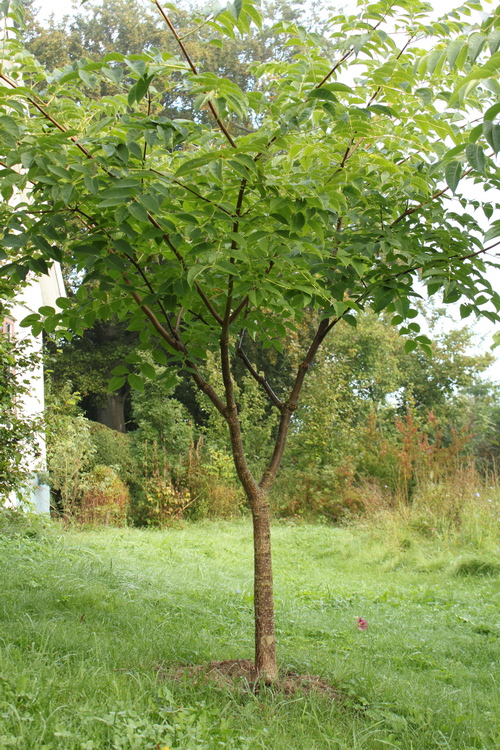 22-Phellodendron-Linders-Plantskola-Li_68275_resize