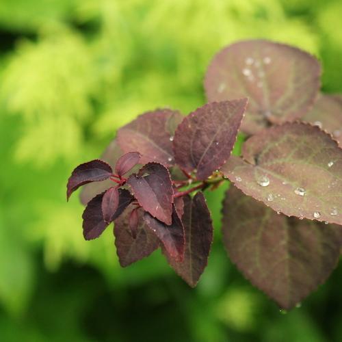 26-Cercidiphyllum-Linders-Plantskola-Li_62160-cut_resize