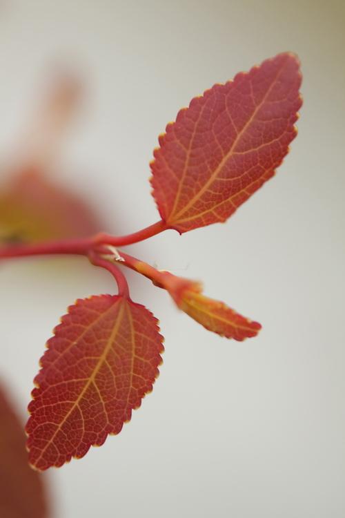 3-Cercidiphyllum-Linders-Plantskola-Li_61494_resize
