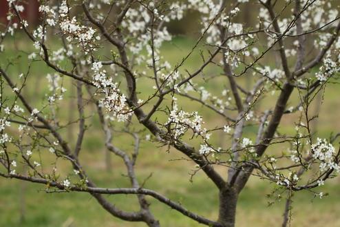3-Prunus cerasifera-Linders-Plantskola-Li_61431_resize