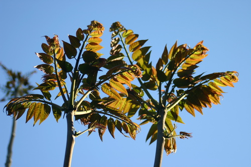3-Toona-sinensis-Linders-Plantskola-29789_resize