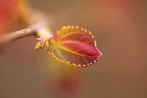 4-Cercidiphyllum-Linders-Plantskola-Li_61470_resize