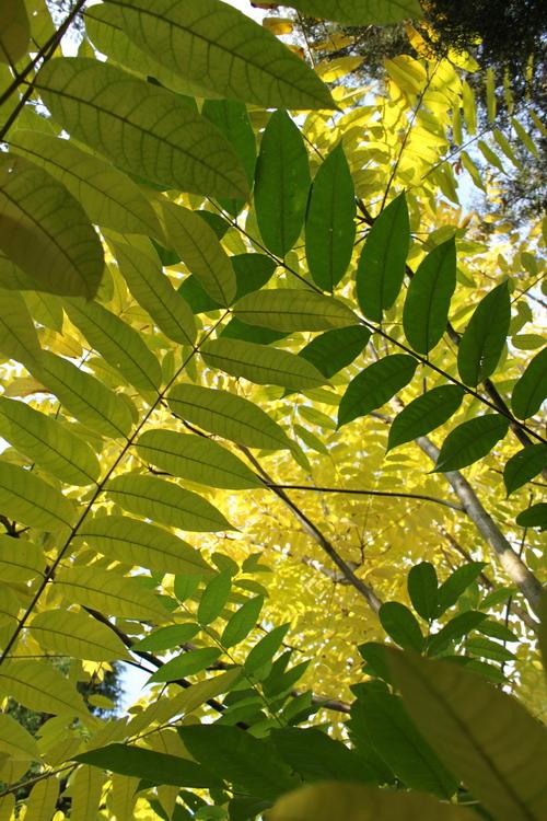 4-Toona-sinensis-Linders-Plantskola-Li_60463_resize