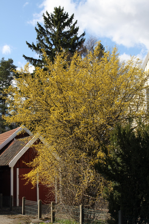5-Cornus-mas-Linders-Plantskola-Li_51306_resize