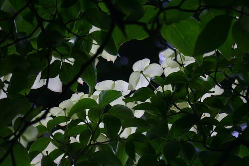 Cornus kousa var. chinensis