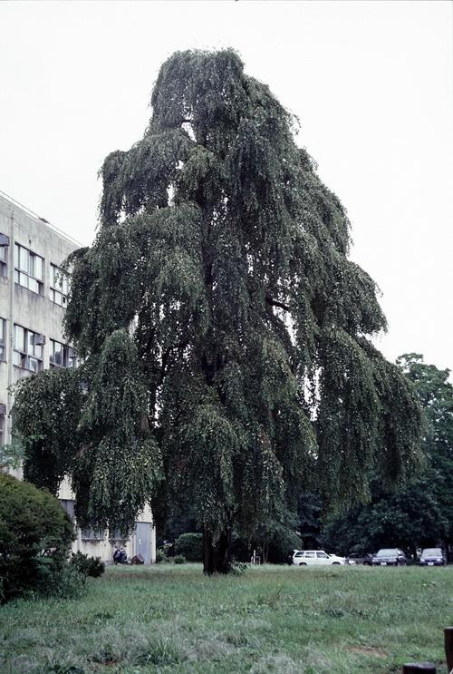 Cercidiphyllum japonicum 'Morioka Weeping'