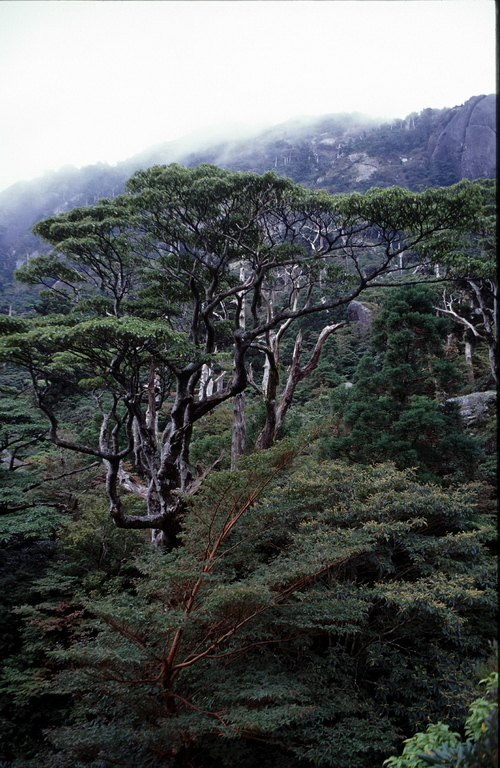 5-Linders-Plantskola-trochodendron aralioides 89-32_resize