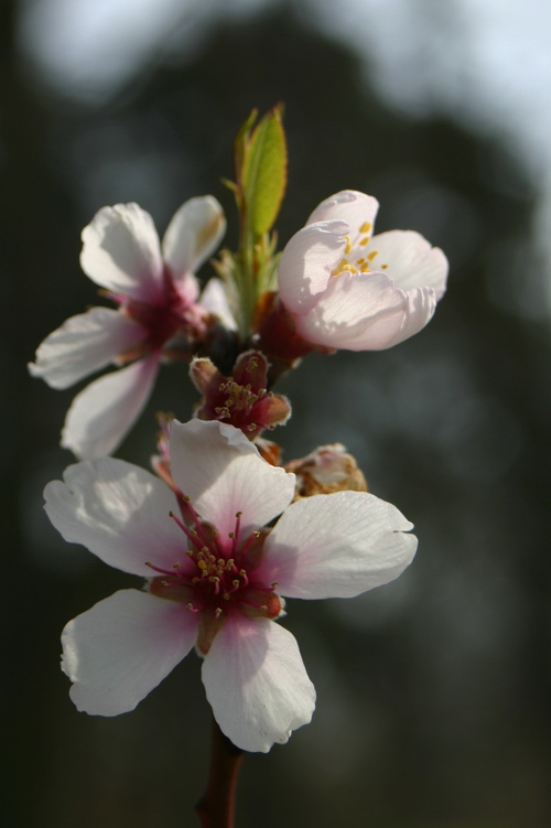 Prunus x persicoides (syn. x amygdalopersica)