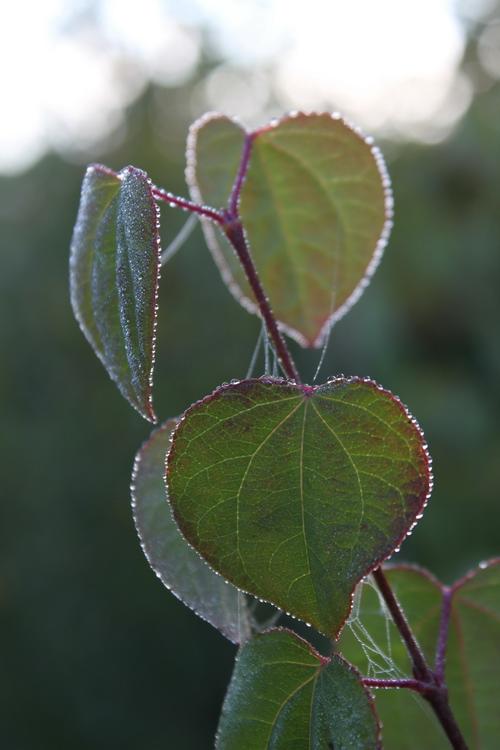 6-Cercidiphyllum-Linders-Plantskola-Li_68322_resize