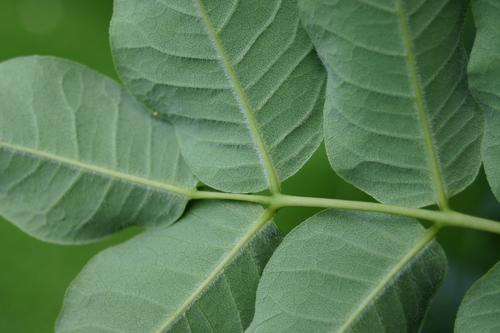 Phellodendron japonicum