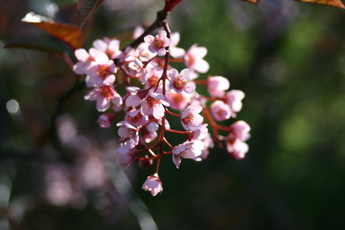 6-Prunus padus 'Colorata'-Linders-Plantskola-12632_resize