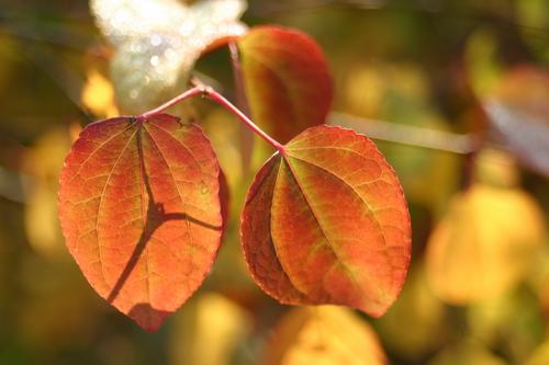 7-Cercidiphyllum-Linders-Plantskola-18300_resize