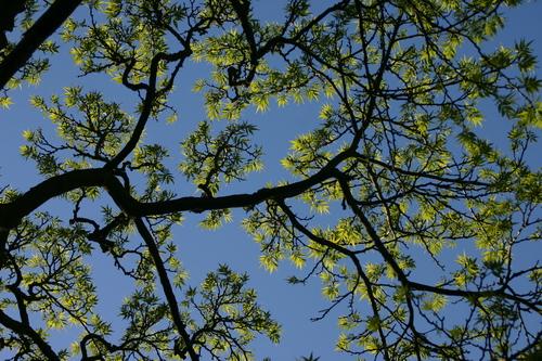 7-Phellodendron-Linders-Plantskola-44536_resize
