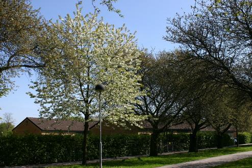 Prunus cerasus 'Rhexii' och P.avium ('Plena')