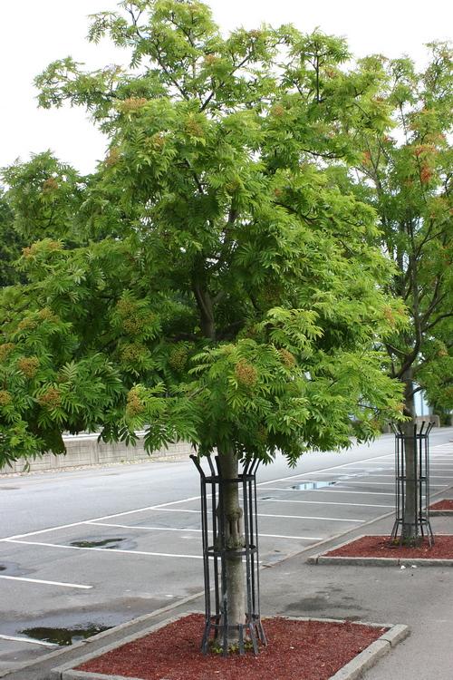 7-Sorbus-ullungii-Linders-Plantskola-40052_resize